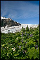 Wildflowers and Exit Glacier. Kenai Fjords National Park, Alaska, USA. (color)