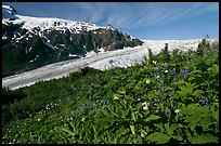 Wildflowers at Marmot Meadows, and Exit Glacier. Kenai Fjords National Park, Alaska, USA. (color)