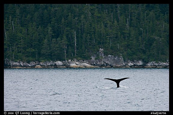 Whale fluke and forest, Aialik Bay. Kenai Fjords National Park, Alaska, USA.