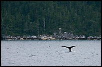 Whale fluke and forest, Aialik Bay. Kenai Fjords National Park, Alaska, USA. (color)