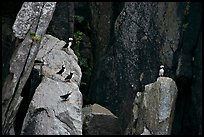 Puffins on cliff. Kenai Fjords National Park ( color)