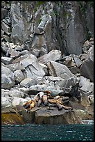 Stellar sea lions hauled out on rock. Kenai Fjords National Park, Alaska, USA. (color)