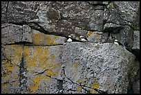 Puffins on rock wall. Kenai Fjords National Park, Alaska, USA. (color)