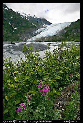 Dwarf fireweed and Exit Glacier. Kenai Fjords National Park, Alaska, USA.