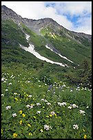 Hills and verdant alpine meadows, seen from Harding Icefield trail. Kenai Fjords National Park, Alaska, USA. (color)