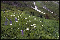 Lupine and white flowers, and neve, Marmot Meadows. Kenai Fjords National Park, Alaska, USA.