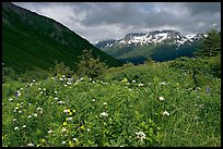Wildflowers in Marmot Meadows and Resurection Mountains. Kenai Fjords National Park, Alaska, USA.
