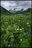 Marmot Meadows and Resurection Mountains. Kenai Fjords National Park, Alaska, USA.