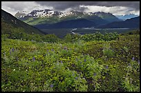 Dwarf Lupine and cloudy Resurection Mountains. Kenai Fjords National Park, Alaska, USA. (color)
