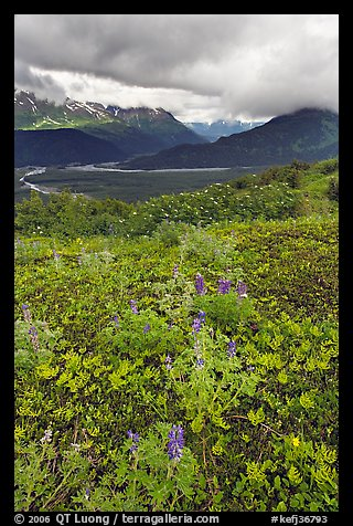 Dwarf Lupine in Marmot Meadows, and Resurection Mountains. Kenai Fjords National Park (color)