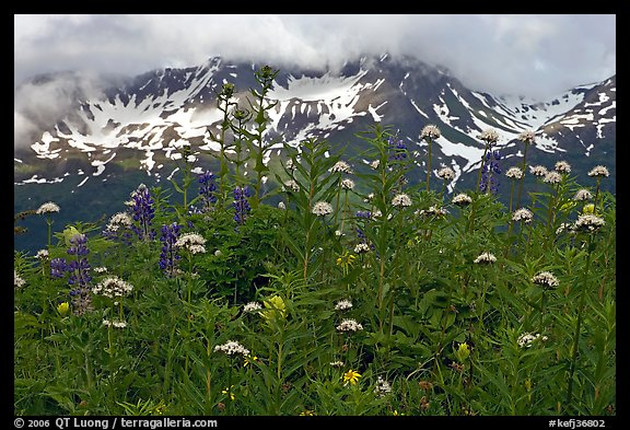 Flowers and peaks, Marmot Meadows. Kenai Fjords National Park (color)