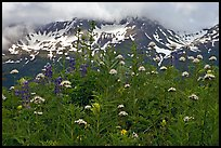 Flowers and peaks, Marmot Meadows. Kenai Fjords National Park, Alaska, USA.