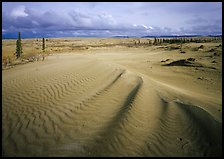 Sand dunes with spruce trees. Kobuk Valley National Park, Alaska, USA.