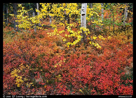 Red Berry leaves and yellow tree leaves in forest. Kobuk Valley National Park (color)