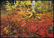 Red Berry leaves and yellow tree leaves in forest. Kobuk Valley National Park, Alaska, USA. (color)