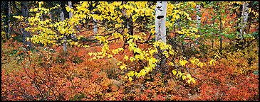 Forest floor and leaves in autumn color. Kobuk Valley National Park (Panoramic color)