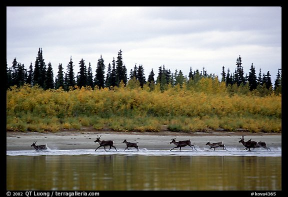 Caribou crossing the Kobuk River during their fall migration. Kobuk Valley National Park (color)