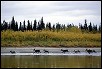 Caribou crossing the Kobuk River during their fall migration. Kobuk Valley National Park, Alaska, USA.