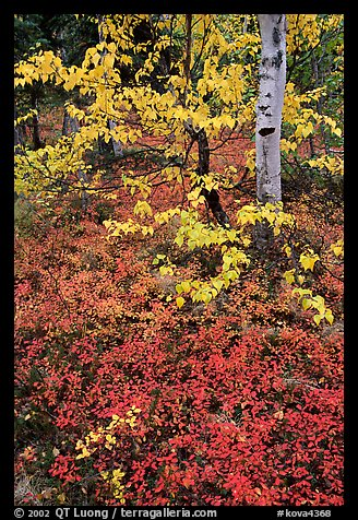 Berry plants and trees in fall colors at Onion Portage. Kobuk Valley National Park (color)