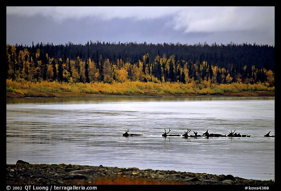 Caribou swimming across the Kobuk River during their fall migration. Kobuk Valley National Park (color)