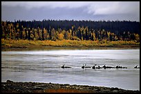 Caribou swimming across the Kobuk River during their fall migration. Kobuk Valley National Park, Alaska, USA.