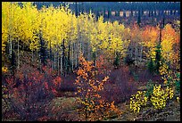 Berry plants and trees in autumn colors near Kavet Creek. Kobuk Valley National Park, Alaska, USA.