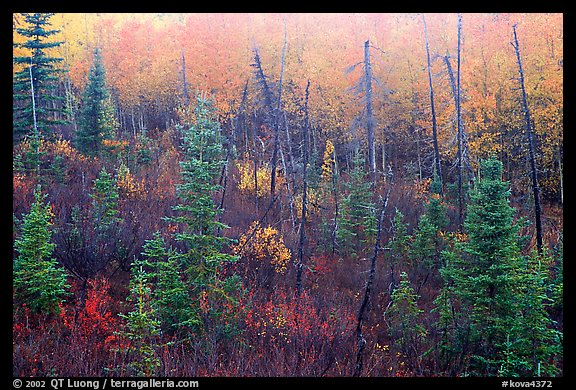 Shrubs and trees in fall foliage near Kavet Creek. Kobuk Valley National Park, Alaska, USA.