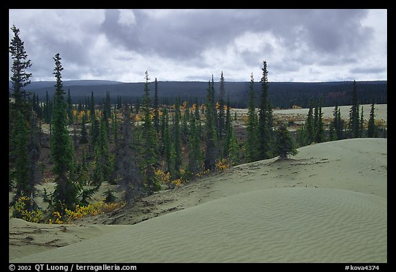 Pocket of Spruce trees in the Great Sand Dunes. Kobuk Valley National Park (color)