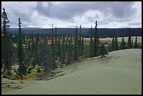 Pocket of Spruce trees in the Great Sand Dunes. Kobuk Valley National Park, Alaska, USA.