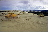 Great Sand Dunes and boreal spruce forest. Kobuk Valley National Park, Alaska, USA.