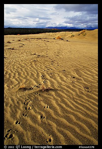 Caribou tracks and ripples in the Great Sand Dunes. Kobuk Valley National Park (color)