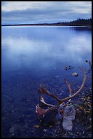Dead caribou head on the river shore. Kobuk Valley National Park ( color)