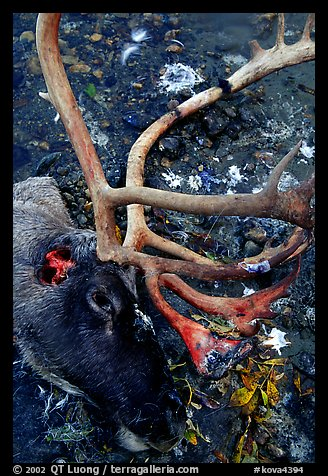 Caribou head discarded by hunters. Kobuk Valley National Park, Alaska, USA.