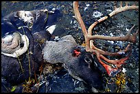 Dead caribou head discarded by hunters. Kobuk Valley National Park, Alaska, USA.