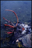 Dead caribou heads discarded by hunters. Kobuk Valley National Park, Alaska, USA. (color)