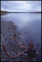 Dead caribou head on Kobuk River shore. Kobuk Valley National Park, Alaska, USA.
