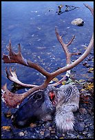 Dead caribou head discarded by hunters. Kobuk Valley National Park, Alaska, USA. (color)
