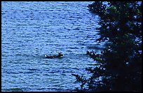 Spruce and lone caribou swimming across the river. Kobuk Valley National Park, Alaska, USA.