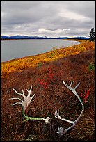 Caribou antlers, tundra, and river. Kobuk Valley National Park, Alaska, USA. (color)