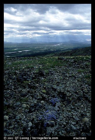 Tundra with forget-me-nots and stormy skies. Lake Clark National Park (color)