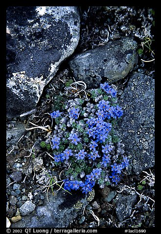 Forget-me-nots. Lake Clark National Park, Alaska, USA.