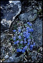Forget-me-nots. Lake Clark National Park, Alaska, USA. (color)
