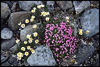 Alpine wildflowers. Lake Clark National Park, Alaska, USA.