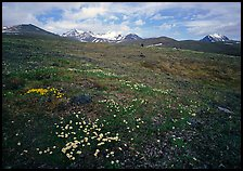 Green tundra slopes with alpine wildflowers and mountains. Lake Clark National Park, Alaska, USA.