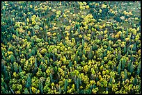 Aerial view of forest in fall foliage. Lake Clark National Park ( color)