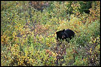 Black bear amongst brush in autumn color. Wrangell-St Elias National Park, Alaska, USA.