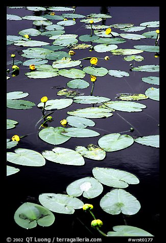 Water lilies in a pond near Chokosna. Wrangell-St Elias National Park (color)