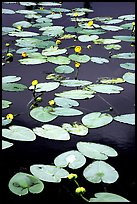 Water lilies in a pond near Chokosna. Wrangell-St Elias National Park ( color)