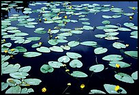 Water lilies blooming in pond near Chokosna. Wrangell-St Elias National Park, Alaska, USA. (color)