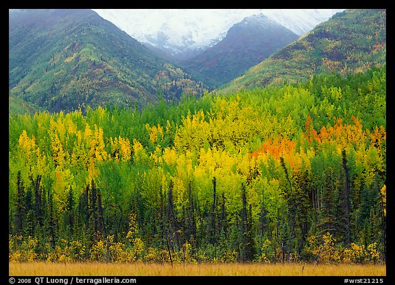 Mountain sloppes with aspens in different stages of autumn colors. Wrangell-St Elias National Park (color)